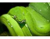 AS Creation XXL Nature 2010 Green Snake 0410-43 , 41043...