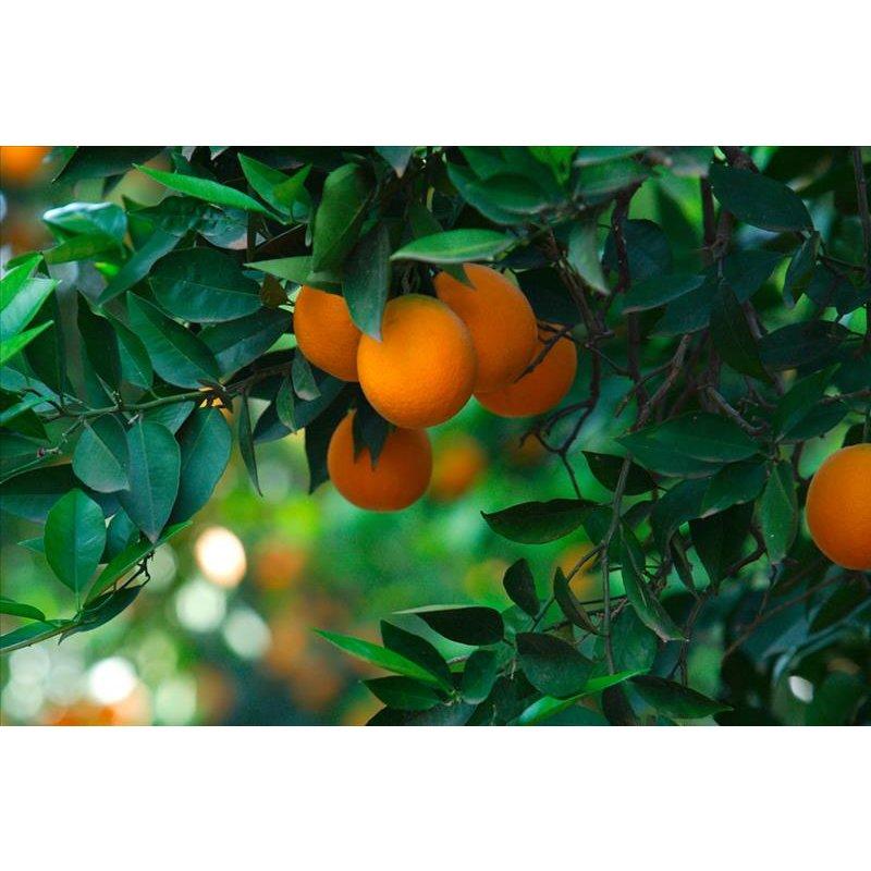 XXL Food 2011 Orange tree 0366-97 , 36697 3m x 2.5m Fototapete